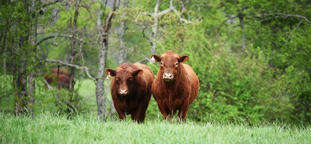 Shady Bottom Ranch Bulls
