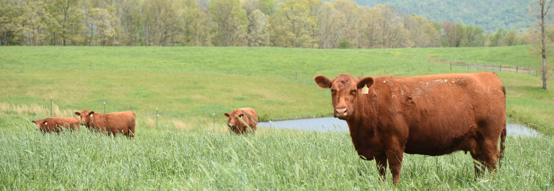 Shady Bottom Red Angus Cows